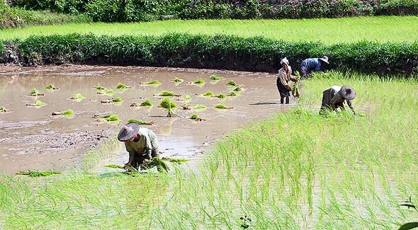 погода в мьянме изумрудные рисовые поля