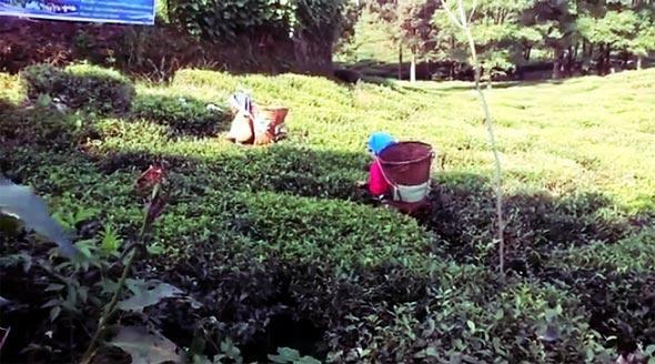 непал чай