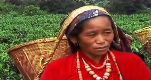 собирают урожай непал чай