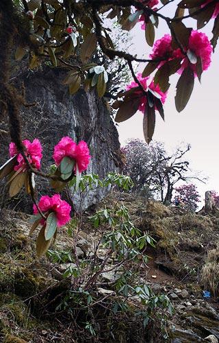непал трек рододендрон