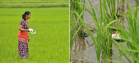 праздник угощения лягушек рисом
