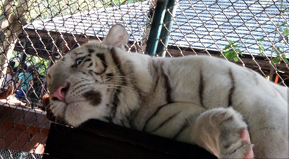 белые тигры один из них