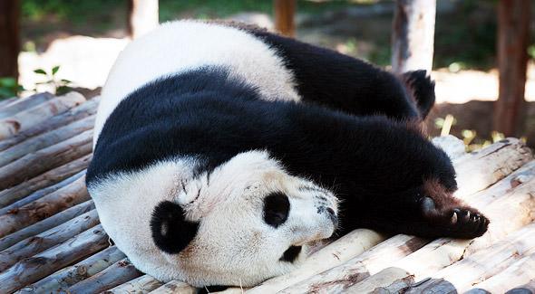 чианг май экскурсии панды