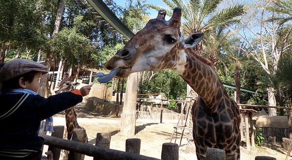 фиолетовый язык жирафа зоопарк чианг май