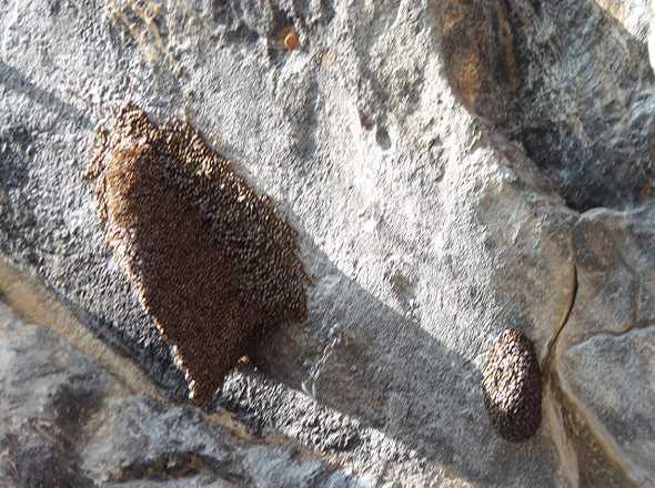 гнезда опасных диких пчел