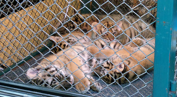недельные тигрята