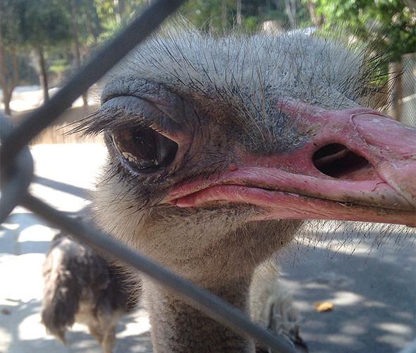 страусиный глаз