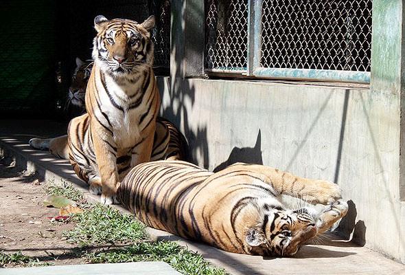 тигр больше кошки в тридцать раз