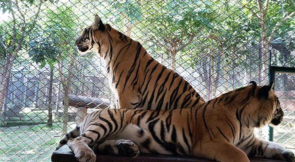 тигры в таиланде