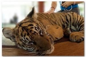 тигры в тайланде