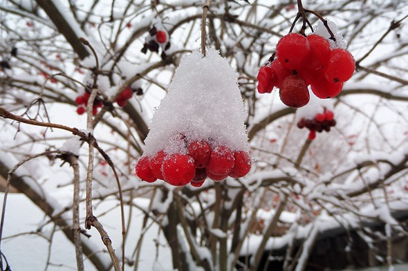 красные ягоды калины лучшее лакомство