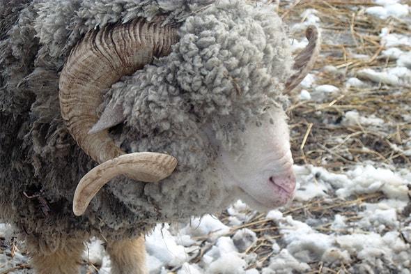 кудрявая шерсть закрывает глаза барану