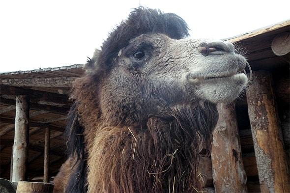 двугорбый верблюд бактриан