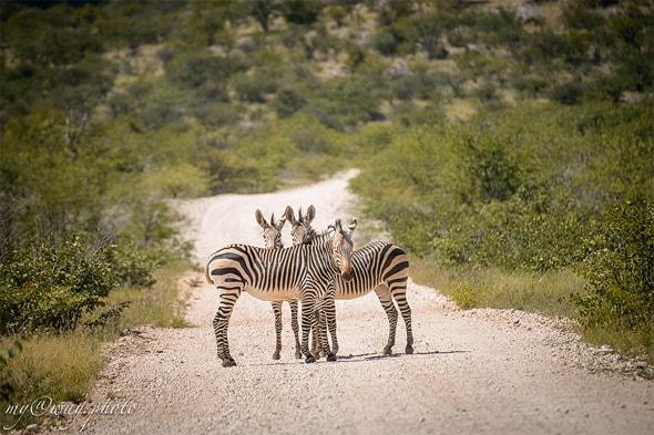 зебры в намибии