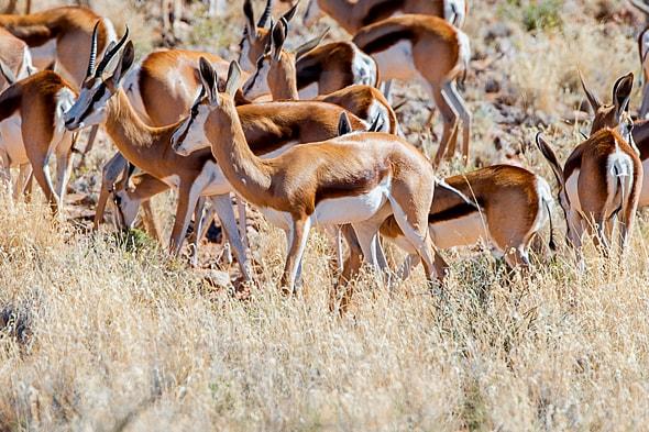 в намиб обитают различные виды антилоп