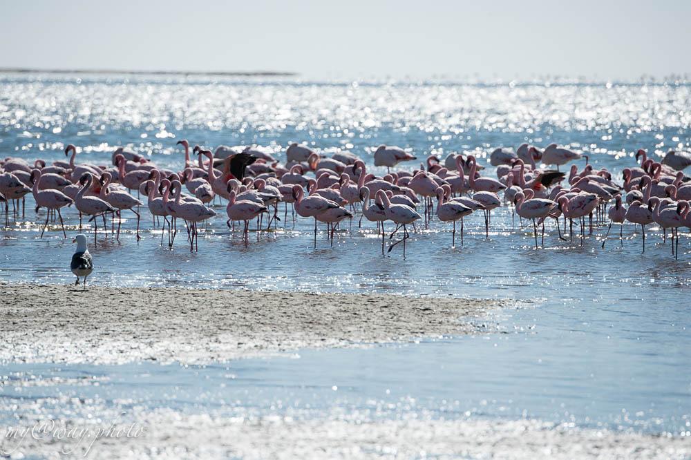 лагуна уолфиш бей восхитительные бело розовые птицы