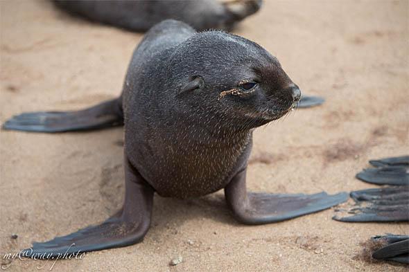 бельки или щенки детеныши морских котиков