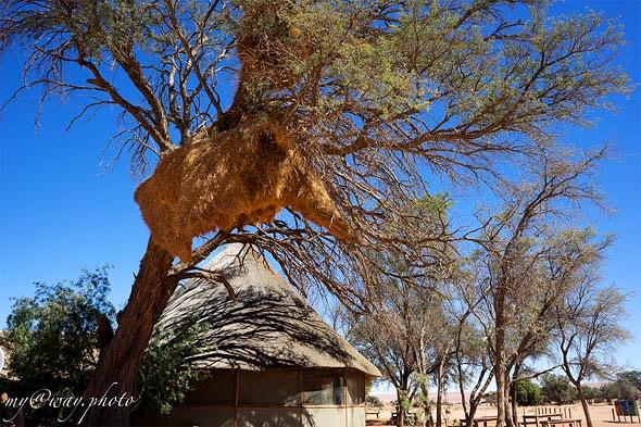 дерево с гнездом ткачиков