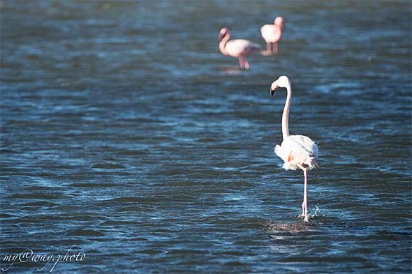 фламинго бродят по мелководью уолфиш бей