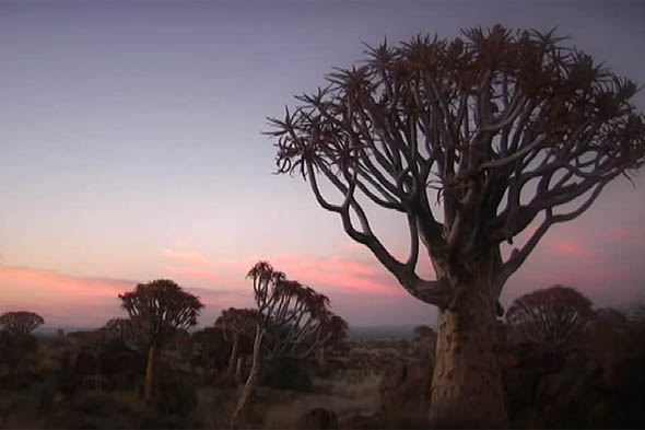 кокербум или колчанное дерево