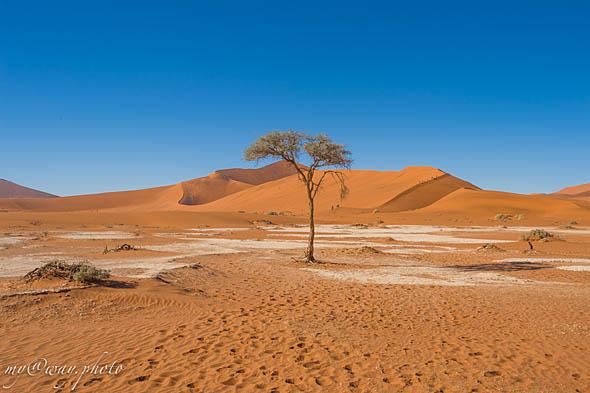 верблюжья акация на плато соссусфлей