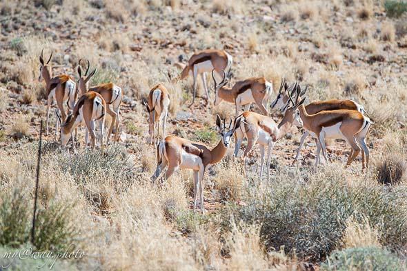 прыгающие антилопы спрингбоки