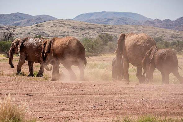 пустынные слоны существуют