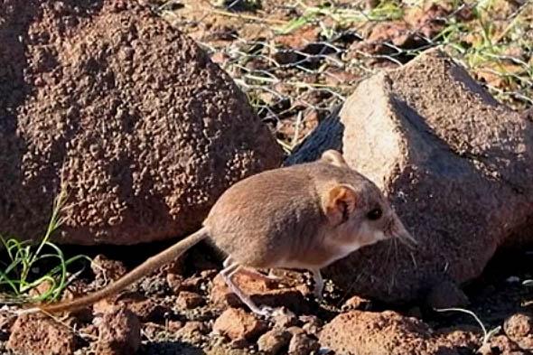 живущая в пустыне намиб землеройка с гибким носом