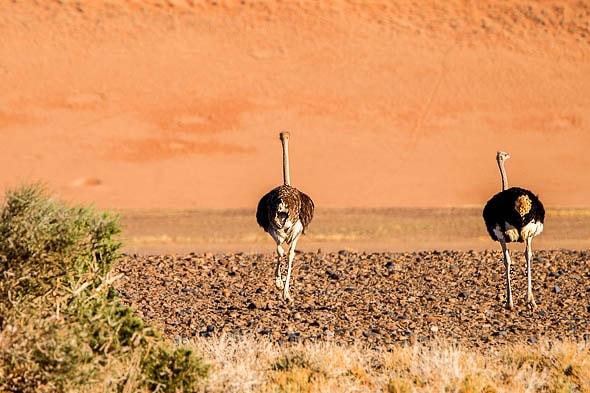 всегда спиной к фотографам идут стаусы