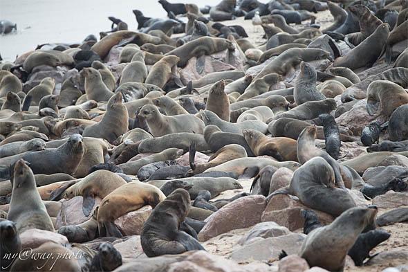 на лежбище морских котиков теснота и давка