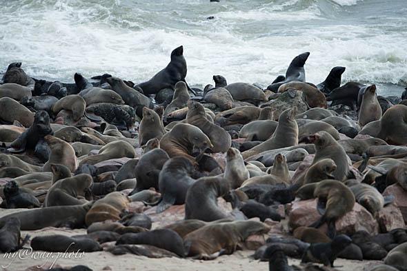 тюленья колония на мысе креста берега скелетов