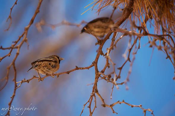 малюсенькие птички ткачики