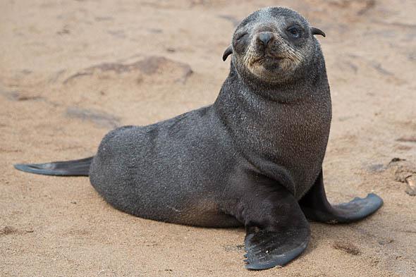 симпатичные ушные раковины ушастых тюленей