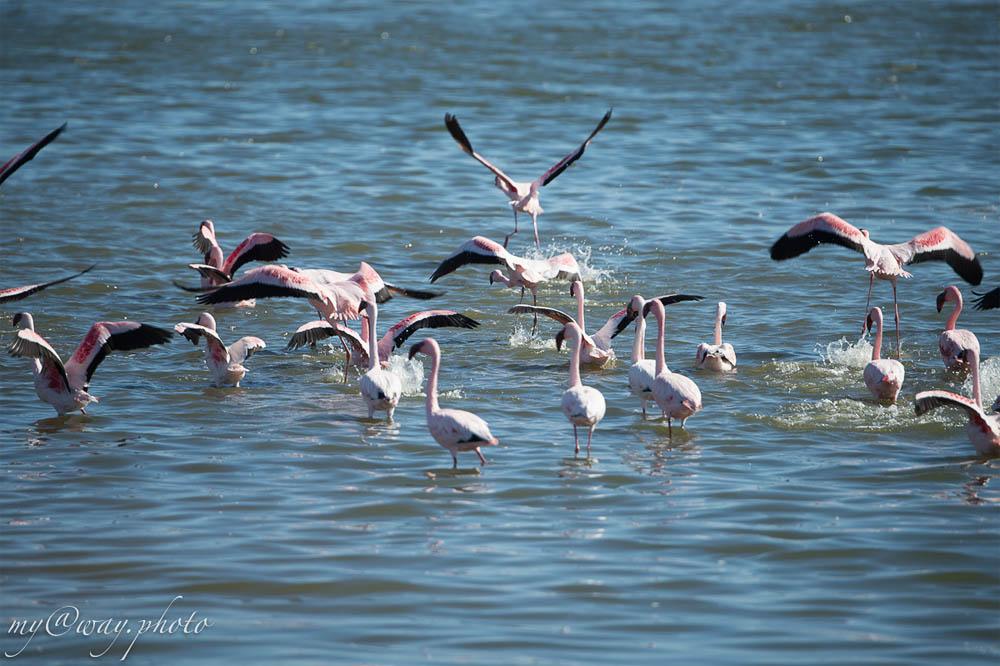 забавные фламинго что то в воде ищут