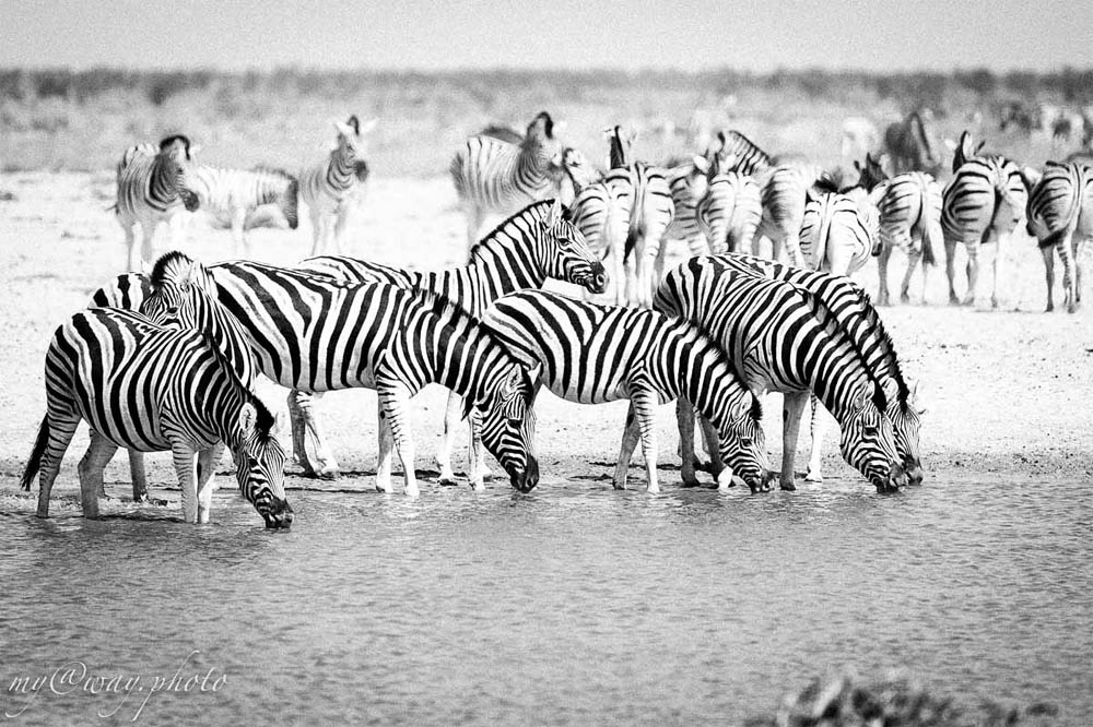 один из видов зебр африки