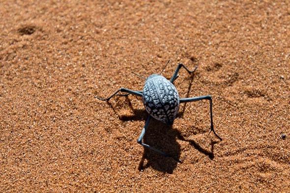 жук живущий в пустыне намиб