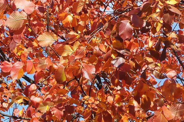 золото и багрянец листьев