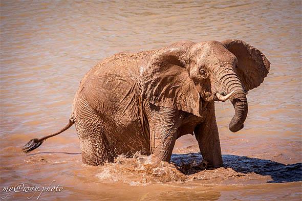 особых примет пустынный слон не имеет