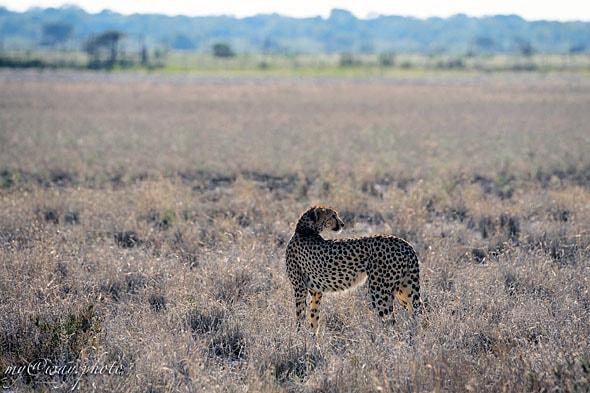 гепарды звери особые