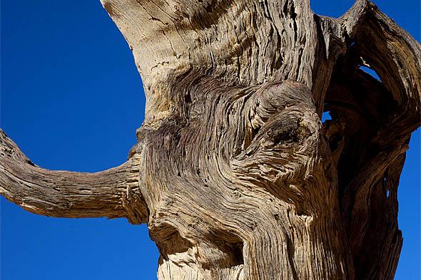 мертвое дерево стоит уже почти тысячу лет