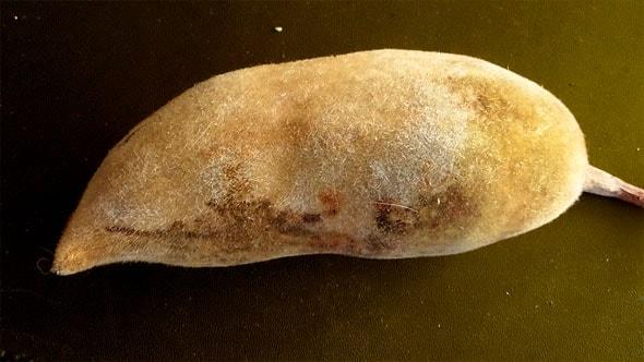 ликовинка плод баобаба