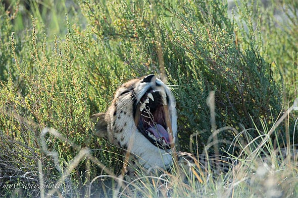представитель кошачьих гепард не нападает на человека