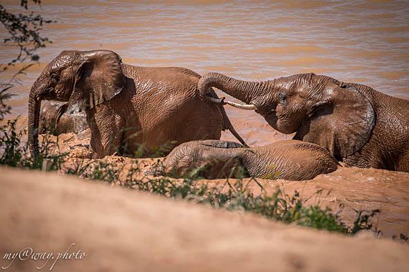 пустынные слоны и слонишки купаются в прудике