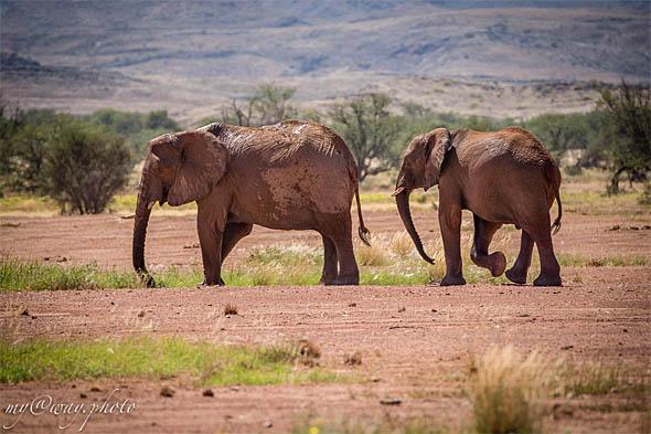 пустынные слоны считавшиеся мифом