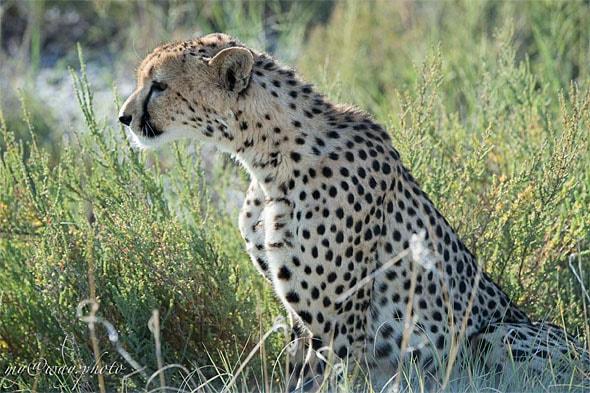 увидеть реального гепарда и прикоснуться к его шерсти