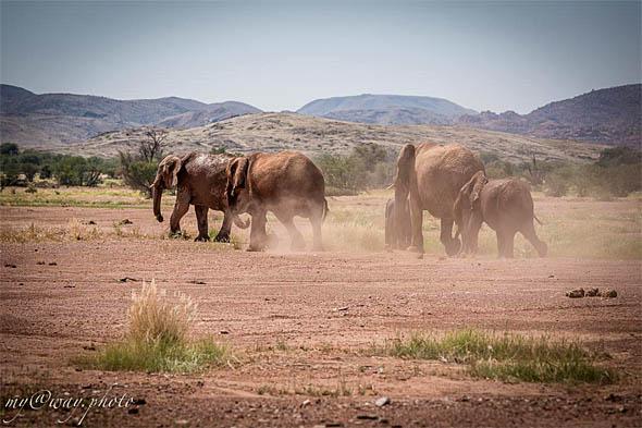 редкое животное дамараленда пустынный слон
