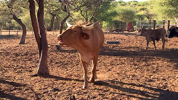 впечатляющего размера рога коровы