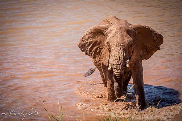 большие треугольные уши африканских слонов