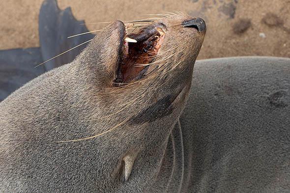 зубки котиков сторожевая собака позавидует