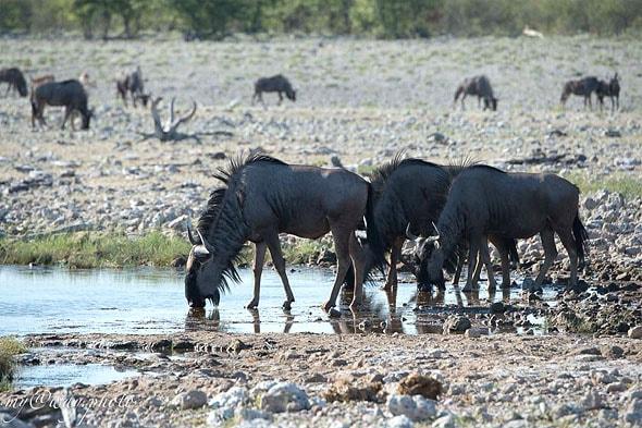 невероятные голубые гну африканские звери